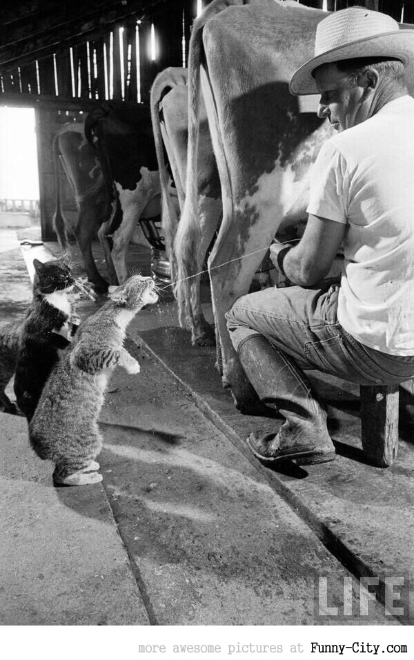 Cats catching squirts of milk during milking at a dairy farm in California, 1954